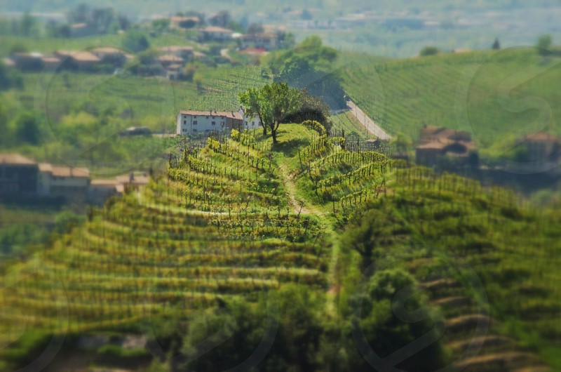 grape field and rolling hills photography photo