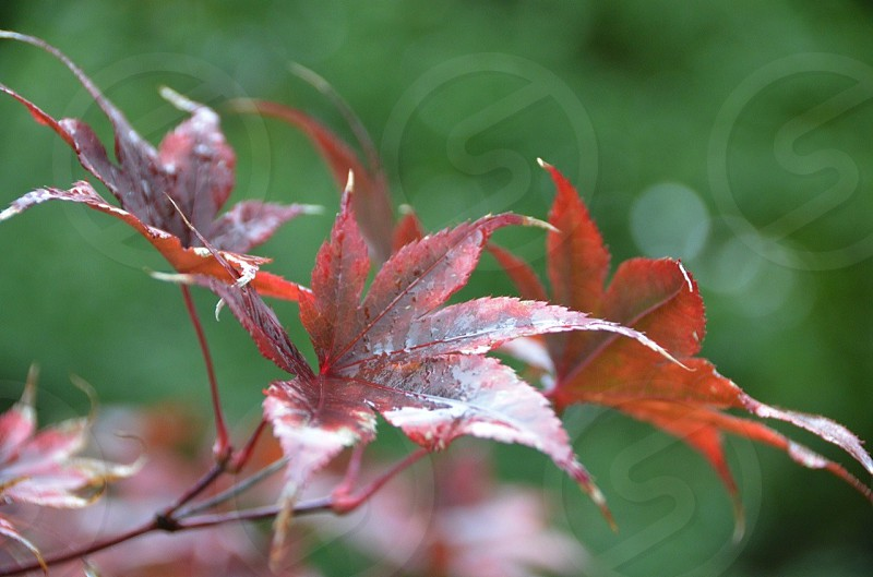maroon and brown leaves  photo