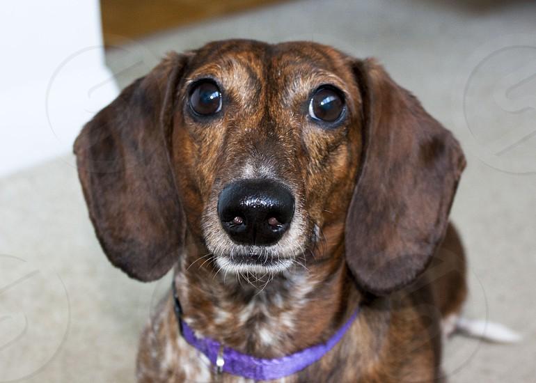 Dog pet dachshund cute photo