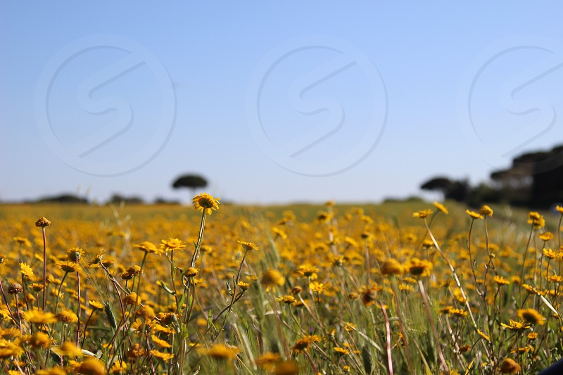 Field flower flowers yellow sky blu blue italy rome park beauty beautiful relax landscape land nature view look background sunny summer sunlight photo photography canon shot green greenfield liberty infinity alone dreams wild wildlife happy fun love pass photo