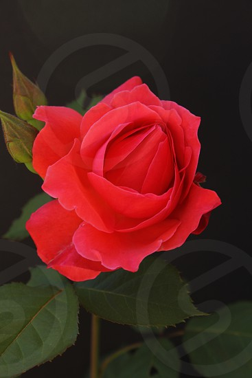 Rose red rose roses flower plant nature photo