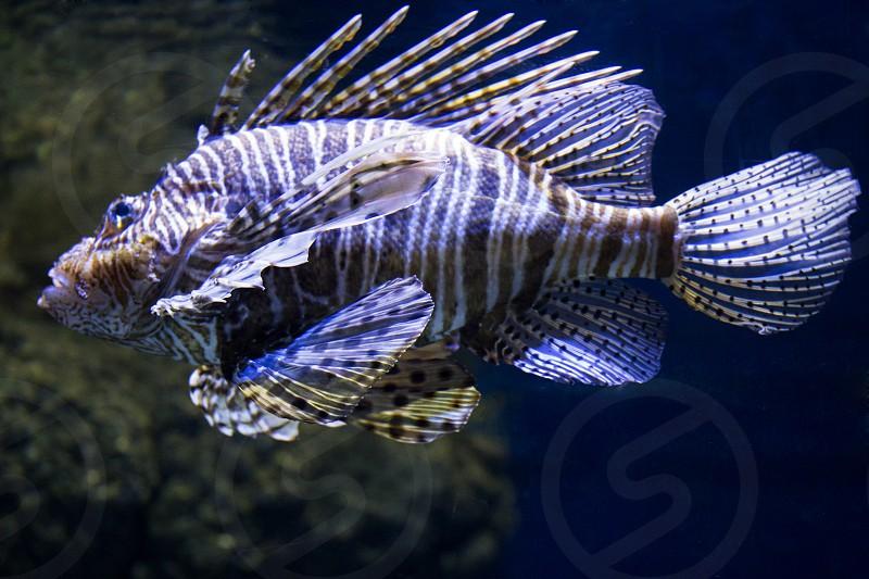 The fish Pterois volitans in the sea photo