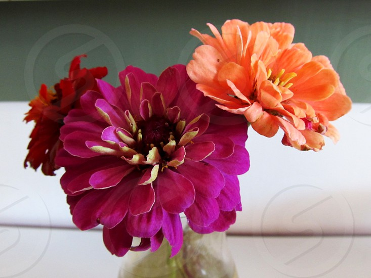 Purple and peach colored flowers photo
