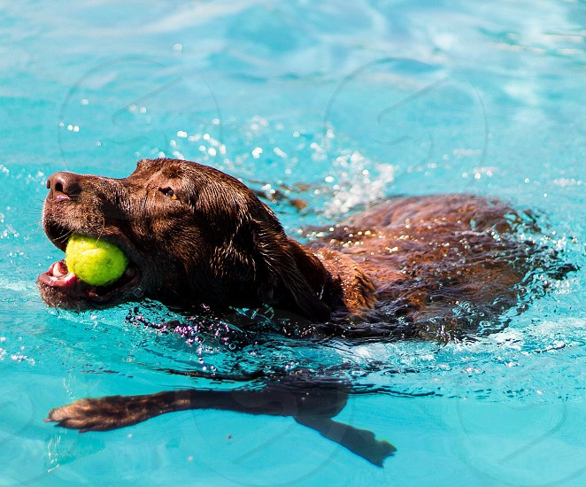 Chocolate lab dog swimming pool fetch tennis ball spring summer fun photo