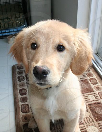 Golden retriever puppy on a floor mat in the kitchen photo
