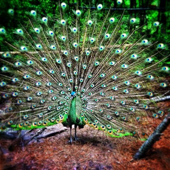 green peacock photo