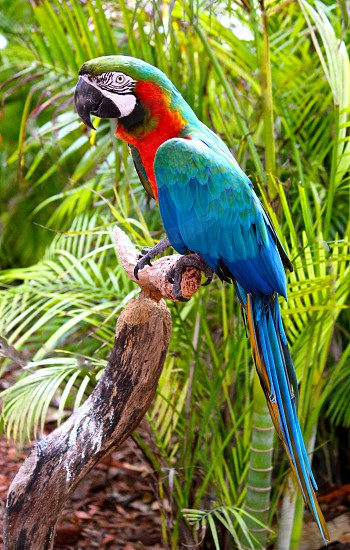 blue macaw on a tree branch with palm trees in the distance photo