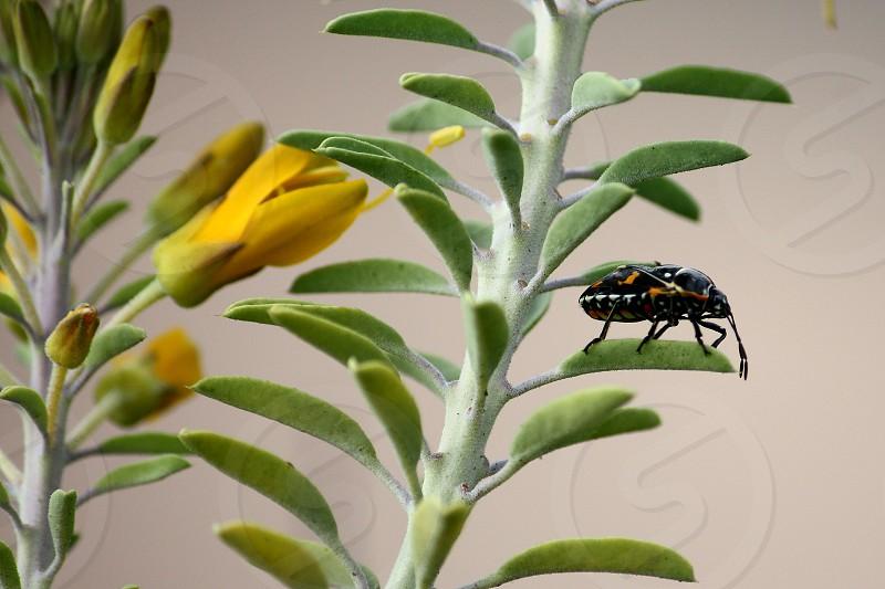 Harlequin beetle on Bladderpod plant photo