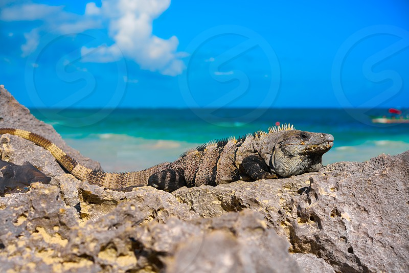 Mexican iguana in Tulum with Caribbean sea of Riviera Maya Mexico photo