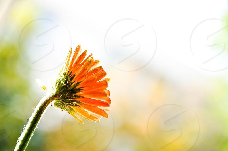 orange daisy flower photo