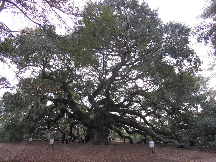 The Angel Oak.....Chas Sc  photo