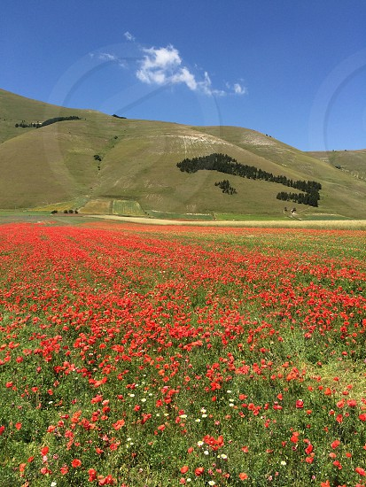 Spring day CastelluccioItalyfieldnatureredpoppiesgrassview photo