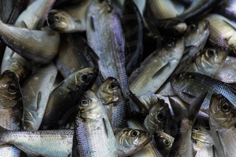 alewives herring migration spring maine purple silver fish gold fish ladder photo