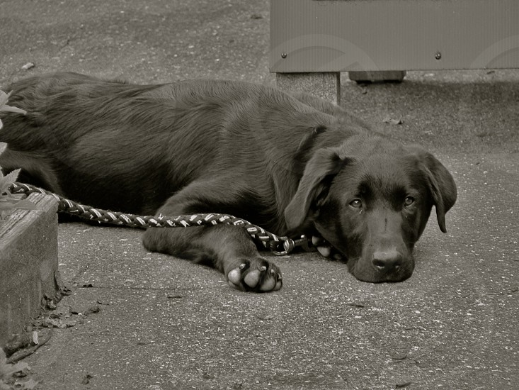 grayscale photography of adult black Labrador retriever lying on pavement photo
