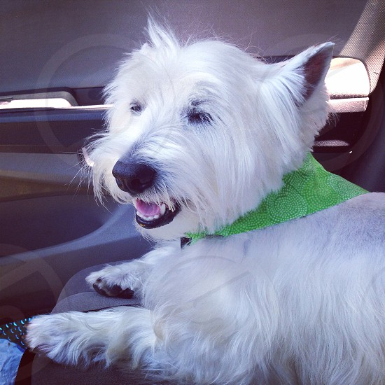My west highland terrier enjoying the outdoors.  photo