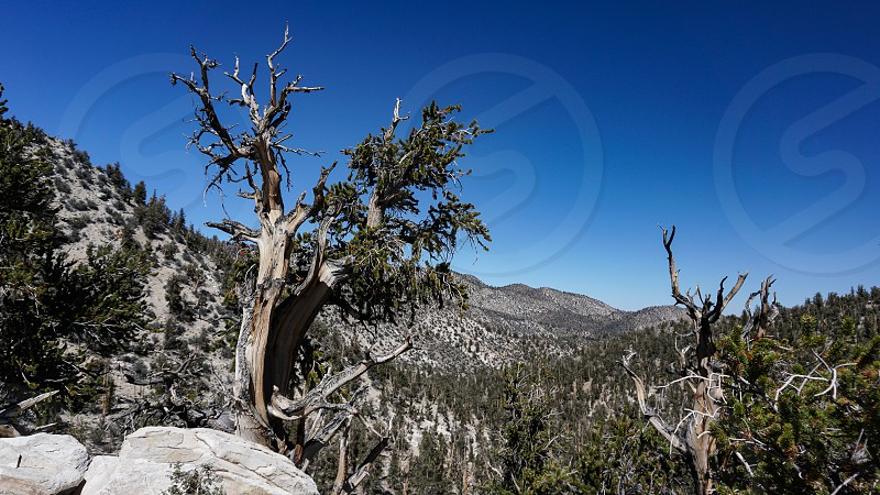 The twisted weathered trunk of an ancient Bristlecone Pine tree at high altitude in the White Mountains of California. The grove extends in the distance. The trees thrive in a steep rocky wilderness. photo