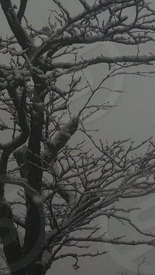 winter trees snow photo