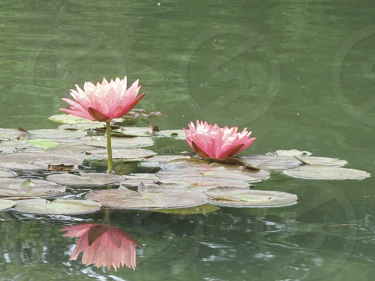flora water lilies pink flowers lily pads reflection photo