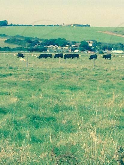 Cow field  photo