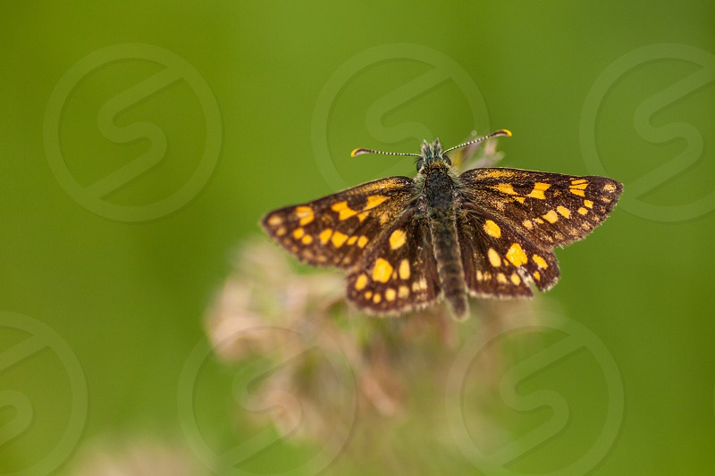 This is a butterfly called carterocephalus palaemon in Latin. It's habitat is grass borders. photo