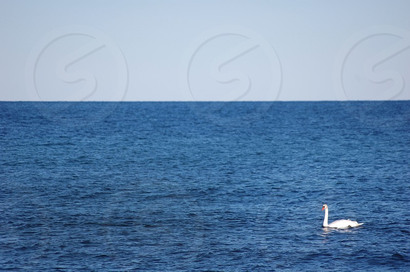 white swan swimming on the sea during daytime photo