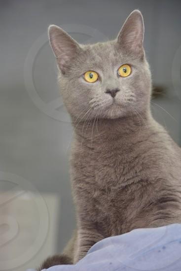 Playful Pets: Peek-a-boo Grey Kitty with striking eyes photo