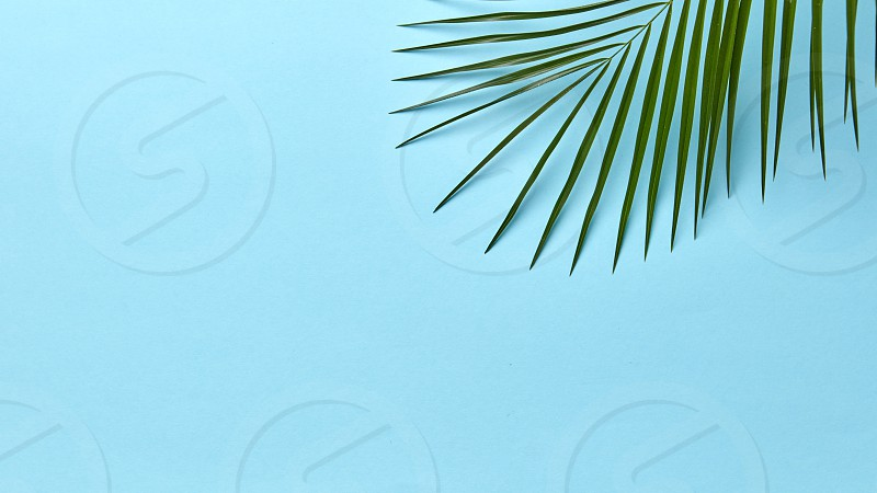 Fresh green palm leaf on a blue background with space for text. Natural summer background. Flat lay photo