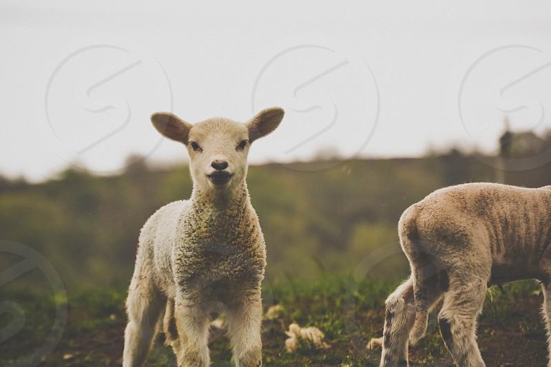gentle lamb photo