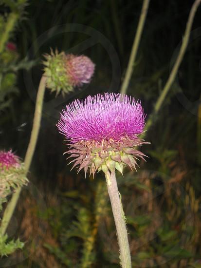 Wild thistle flower photo