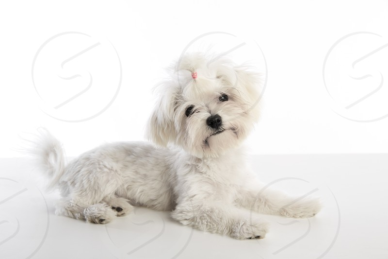 Maltichon puppy also Bichon Maltese doggy on white background photo