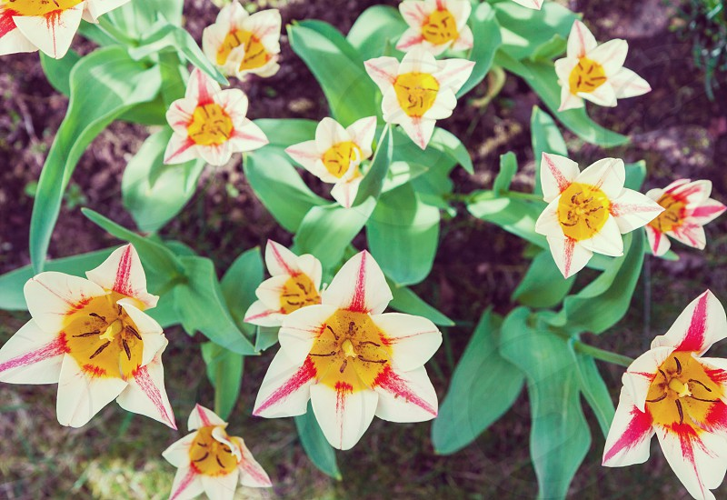 springtime spring tulips flowers garden blossom colors colorful plants nature bloom photo