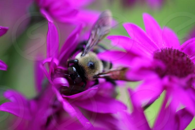 black and gray honeybee on purple flower photo