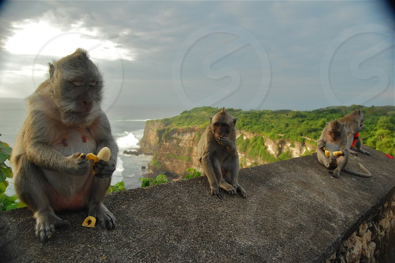 Monkeys hanging out with stolen red flowers and borrowed bananas on a wall in Ulluwatu Bali Indonesia photo