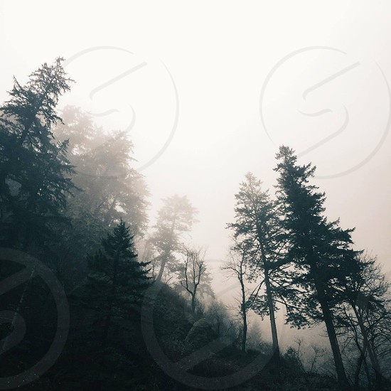Foggy trees in the Northwest photo