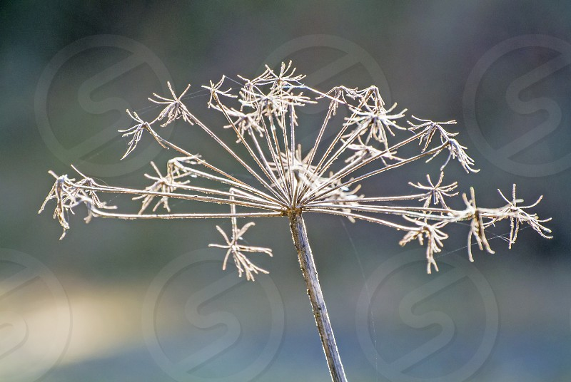 angelica medicinal plant in wintertime photo