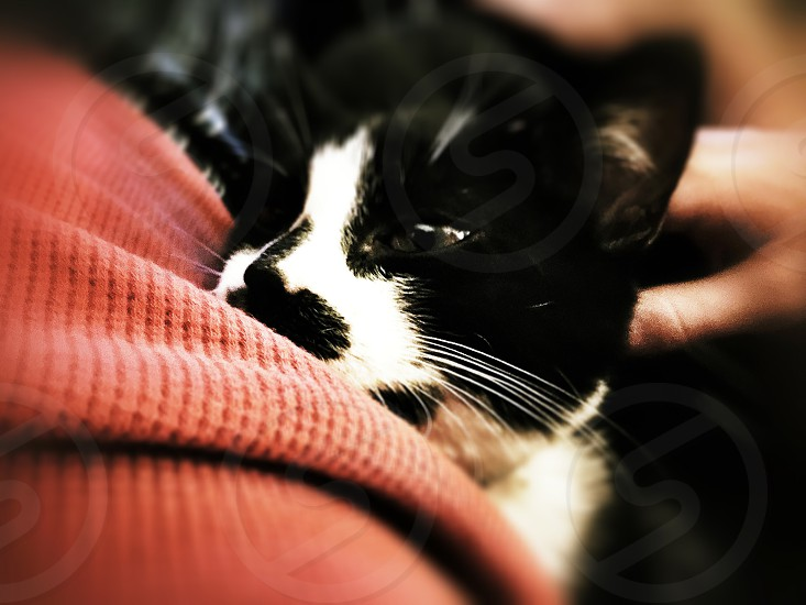 close up photo of tuxedo cat photo