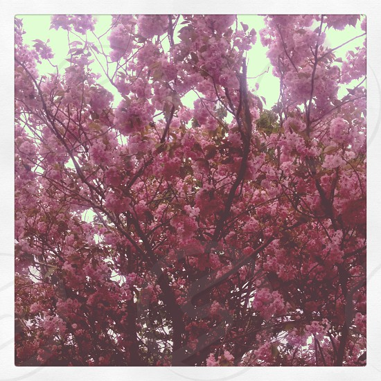 pink cherry blossom tree in bloom photo