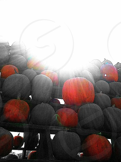 black and red pumpkin lot photo