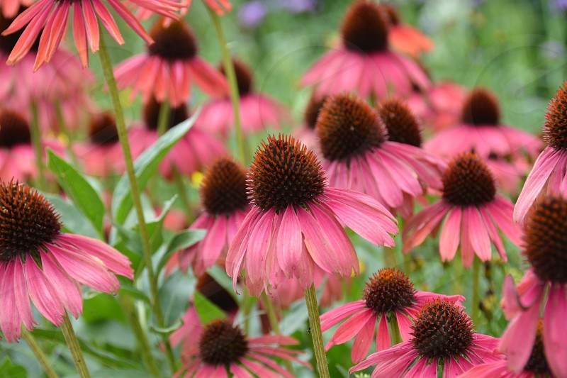 pink and brown flower photo