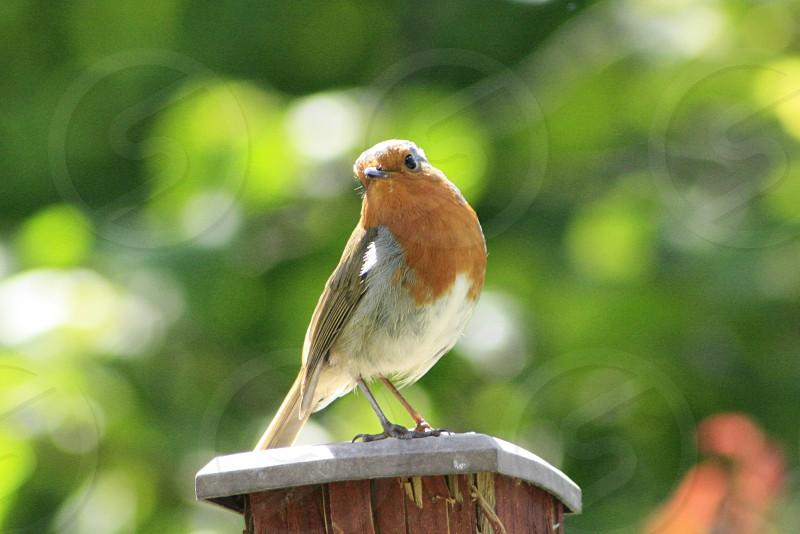 Curious Robin photo