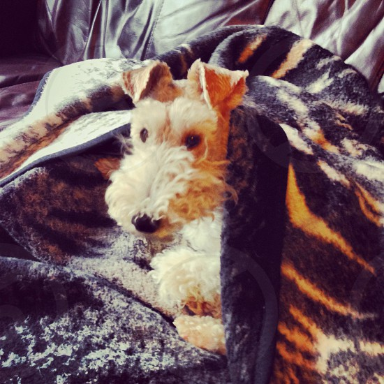 Wirefox terrier with tiger blanket photo