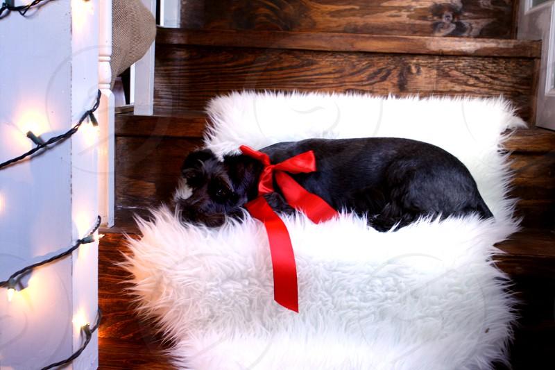 Mini schnauzer christmas christmas lights red bow glow photo