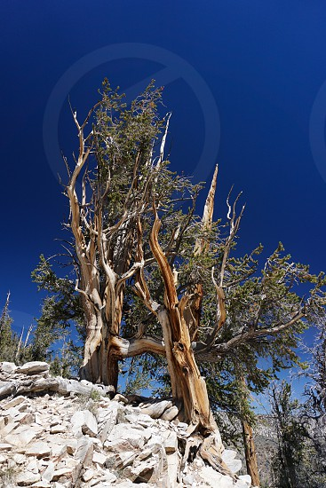 Two ancient Great Basin Bristlecone Pine trees thousands of years old cling to bare rock high in the White Mountains of California in one of few places on earth they survive. photo