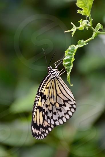 Rice Paper Butterfly (Idea leuconoe) photo