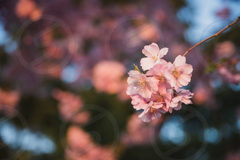 Japanese pink Sakura blossom photo