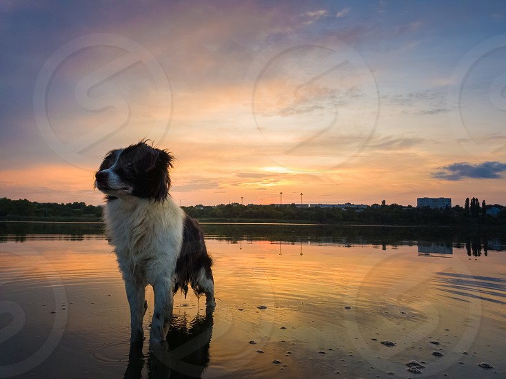 Portrait of serious and attentive border collie dog standing in a pond water over sunset background with reflection on the lake surface. Beautiful pet looking around posing to camera. photo