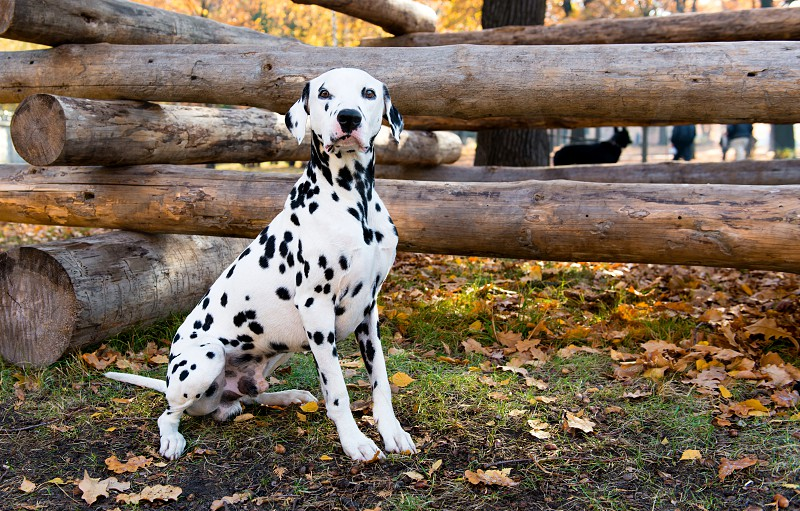 Dalmatian seats near logs.  The Dalmatian is in the country house.  photo