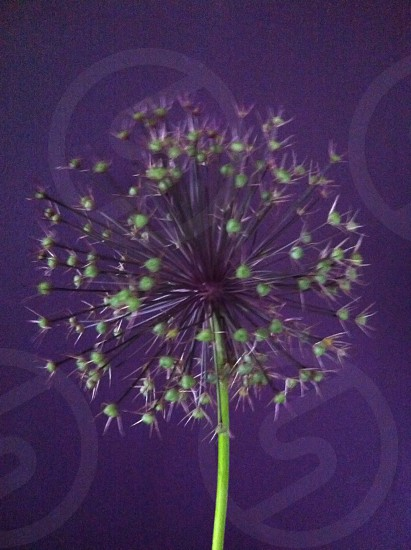 Allium flower head photo