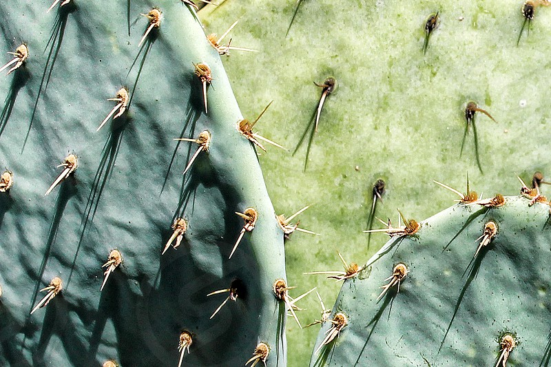 Close-up of cactus plant thorns and prickles. photo