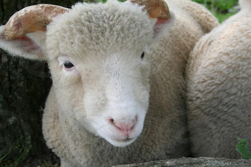 close up sheep farm barn country photo